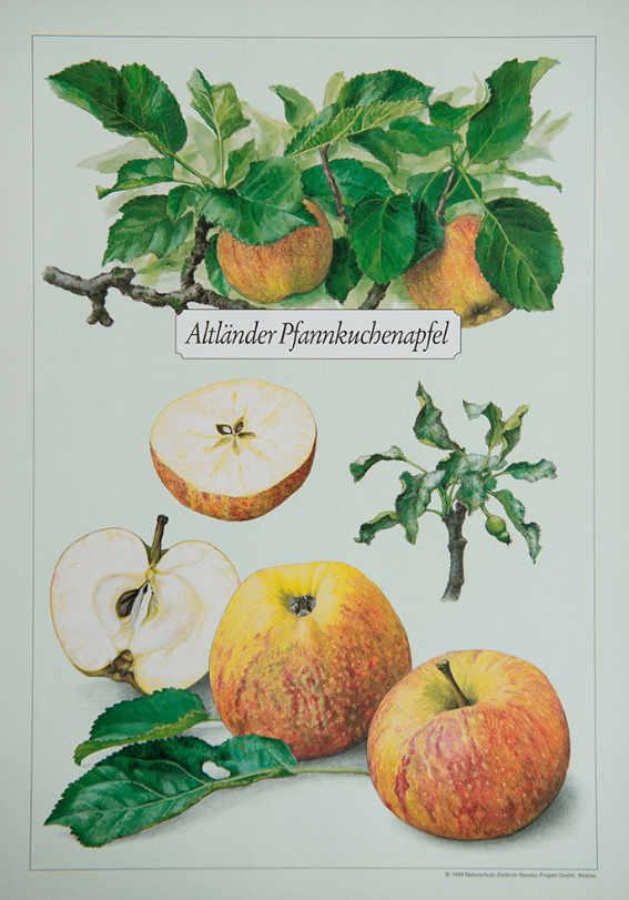 Altl+ñnder_Pfannkuchenapfel_Kunstdrucke_alte_Apfelsorten
