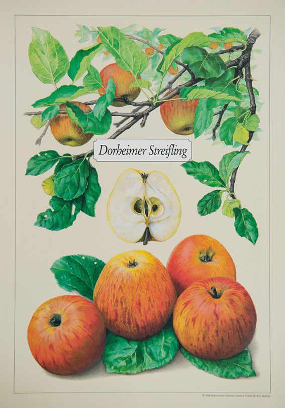 Dorheimer_Streifling_Kunstdrucke_alte_Apfelsorten_allesgude.de