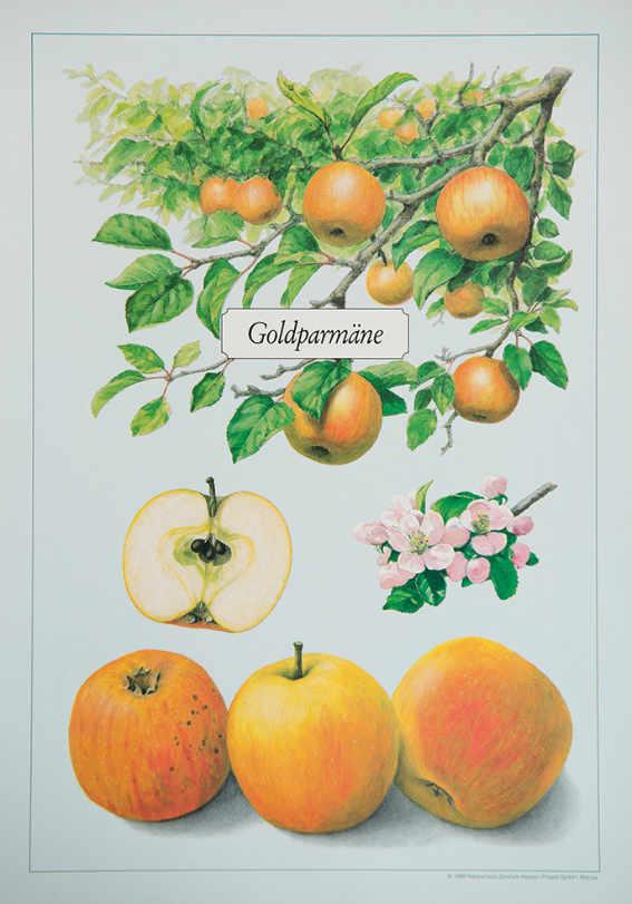 Goldparm+ñne_Kunstdrucke_alte_Apfelsorten_allesgude.de