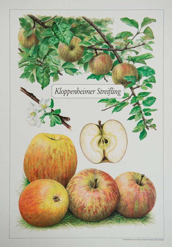 Kloppenheimer_Streifling_Kunstdrucke_alte_Apfelsorten_allesgude.de