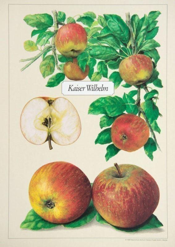 Kaiser Wilhelm alte Apfelsorte