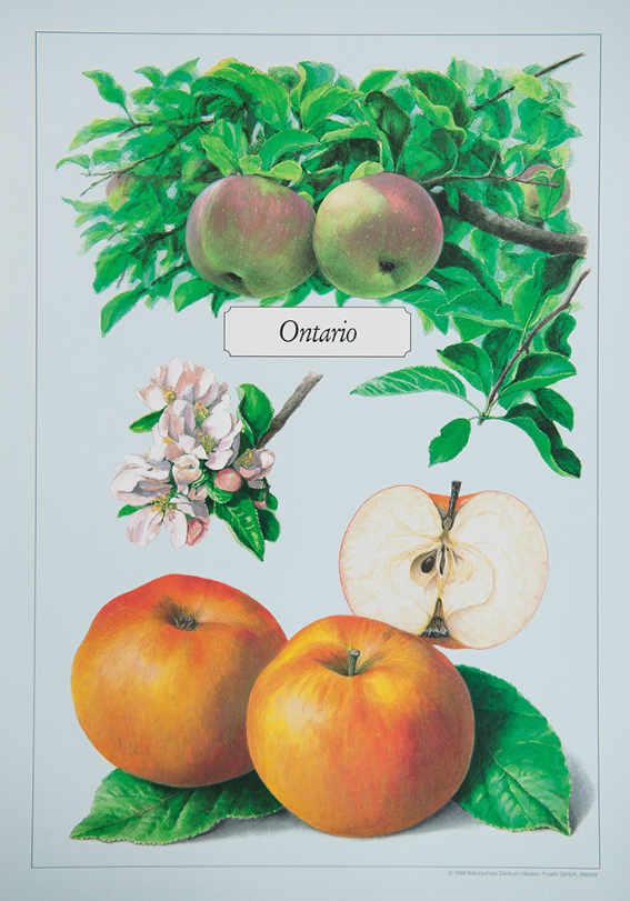 Ontario_Kunstdrucke_alte_Apfelsorten_allesgude.de