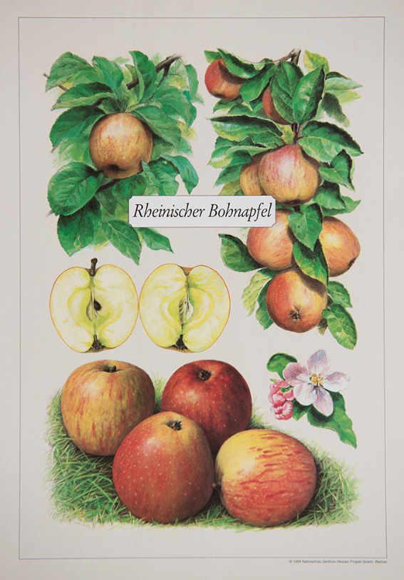 Rheinischer_Bohnapfel_Kunstdrucke_alte_Apfelsorten_allesgude.de
