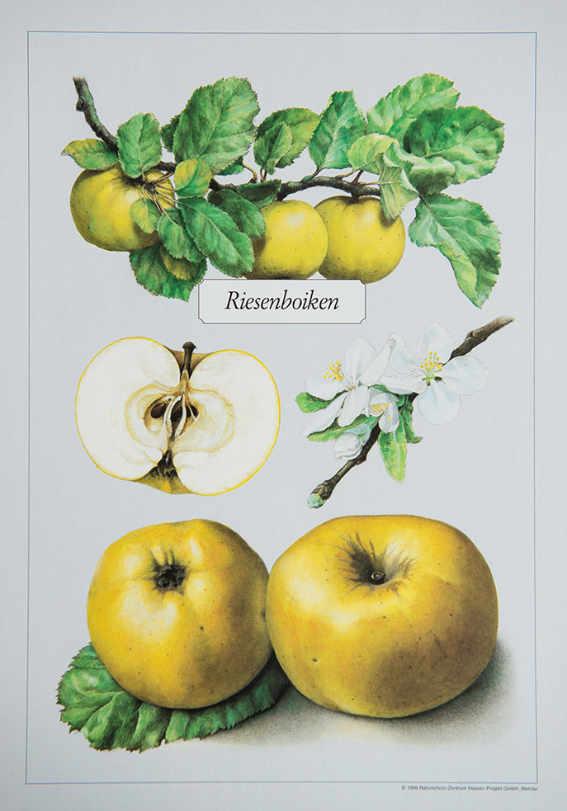 Riesenboiken_Kunstdrucke_alte_Apfelsorten_allesgude.de