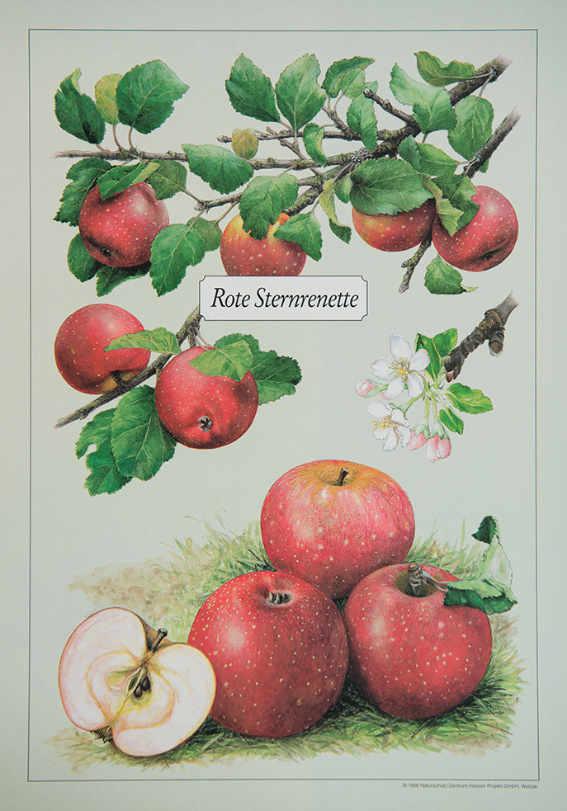 Rote_Sternrenette_Kunstdrucke_alte_Apfelsorten_allesgude.de